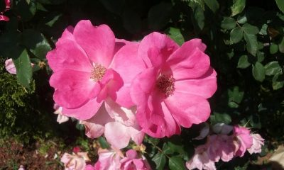 5 Ways to Appreciate June's Birth Flower, The Rose